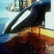 The Norway whaling probe that led to EIA's creation