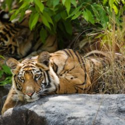 Bengal Tiger (Panthera tigris) siblings resting on cool rocks, Bandhavgarh, India
