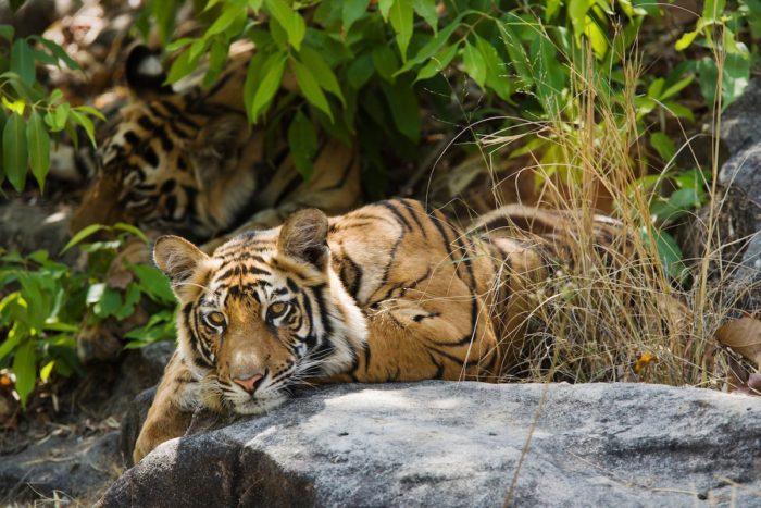 Bengal Tiger (Panthera tigris) siblings resting on cool rocks, Bandhavgarh, India