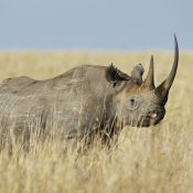 Fake horn is no cure for the epidemic of rhino poaching