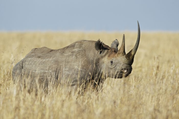 Black Rhinoceros (Diceros bicornis) wandering through savannah grasslands, Masai Mara, Kenya