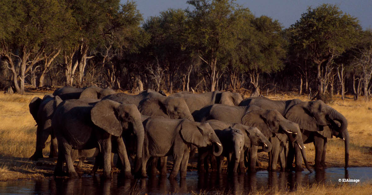 Botswana elephants herd