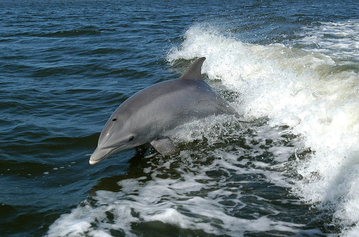 Bottlenose dolphin, by NASA