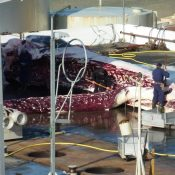 Iceland flouts international ban to slaughter first protected fin whale of new hunting season
