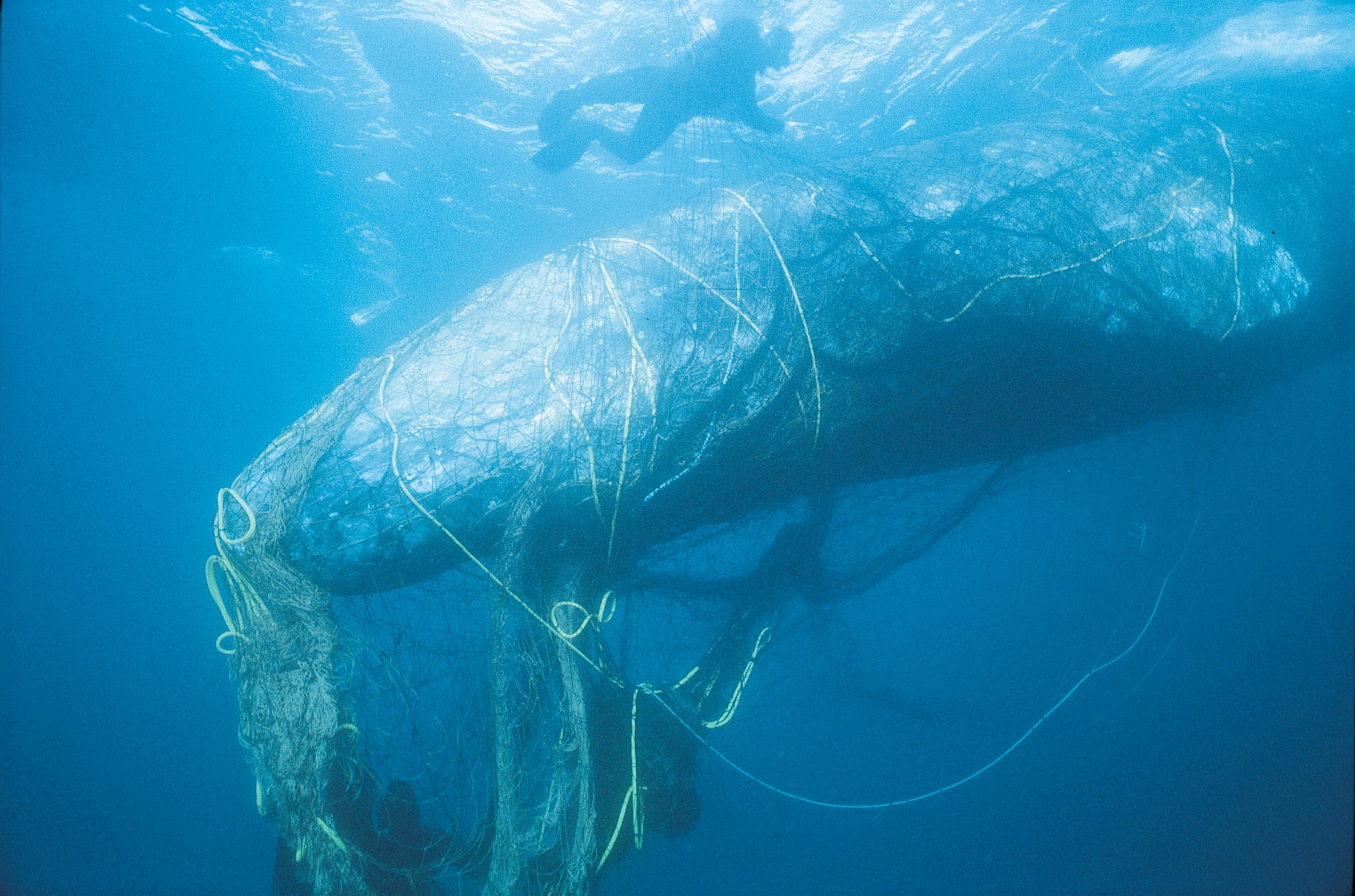 Gray whale entangled in netting (c) BobTalbot, via Monofilament Recovery & Recycling Program