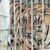 Groups welcome intention of Laos to phase out tiger farms