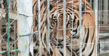 caged-tiger-kings-romans-complex-gt-sez-c-eia-lr