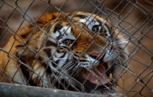 Caged tiger in China (c) EIA