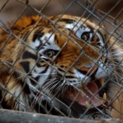 Call for tiger conference to commit to 'zero demand'