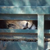 South Africa's lion bone trade disastrous for wild tigers