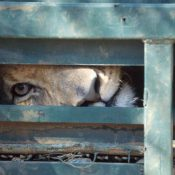 South Africa to nearly double exports of lion skeletons, fuelling illegal tiger trade