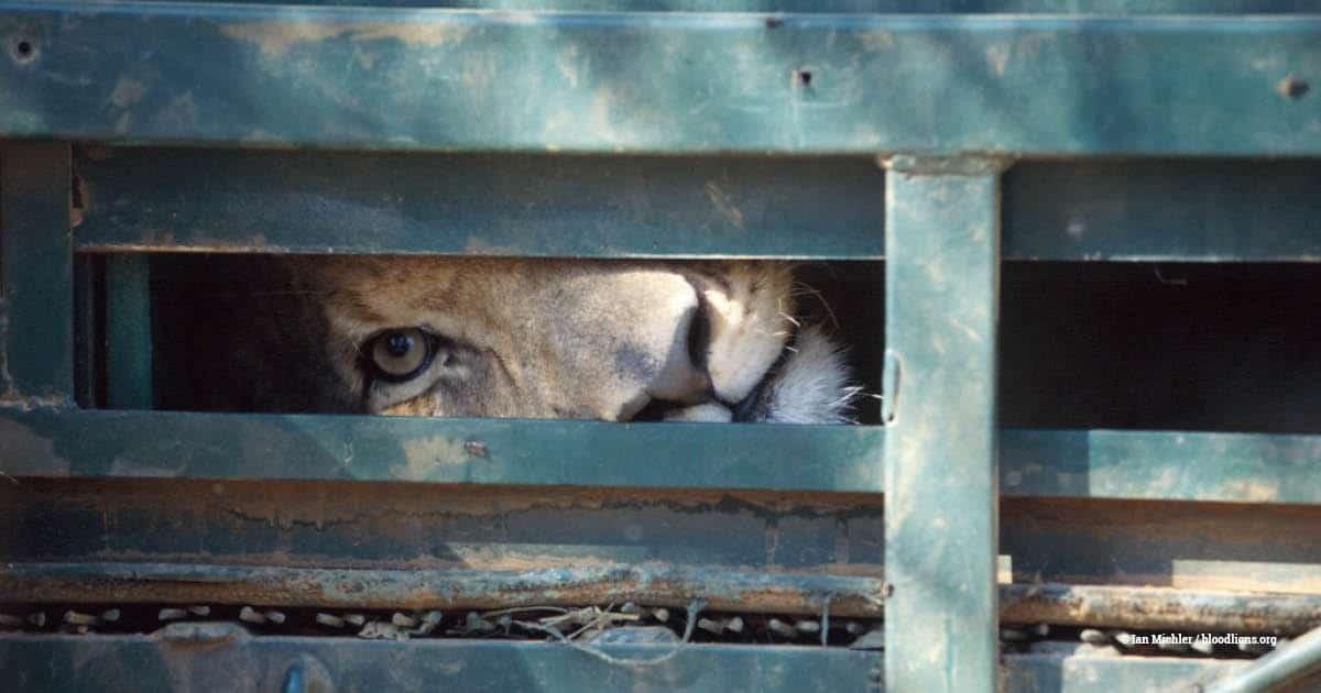 Captive lion, SA