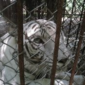 China's tiger farms are a threat to the species