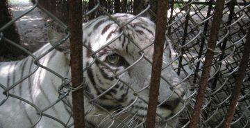 Captive tiger, Gulin, China, 2011 (1)  (c) EIA lo