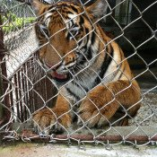 Threat of tiger farms finally comes under closer scrutiny