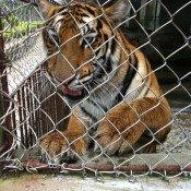 Threat of tiger farms finally comes under closer scrutiny