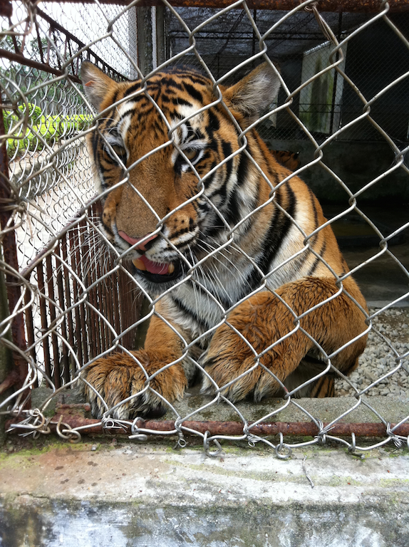 Captive tiger in China, filmed during EIA undercover visit (c) EIA