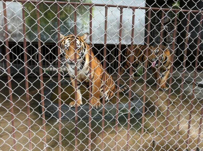 Captive tigers, Gulin, China, 2011 (c) EIA lo res