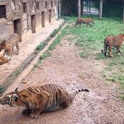 CITES support to end tiger farming is welcomed