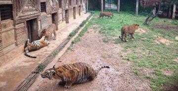 Captive tigers at a facility in Yunnan, China, 2015 (c) EIA cropped
