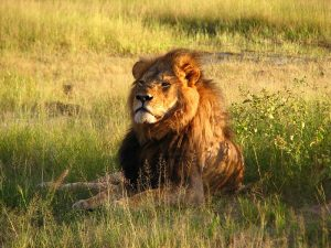 Cecil the lion, Zimbabwe, 2010, by Daughter#3