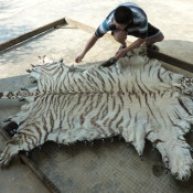Illegal trade seizures: Tigers & Asian Big Cats