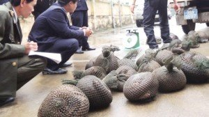 Customs officers in Vietnam with more than 100 live pangolins seized from smugglers in December 2012