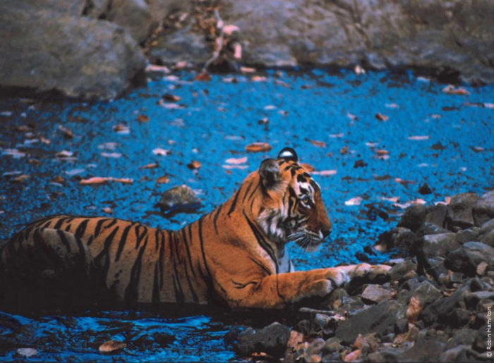 """""""Tiger pattedar pani ka devta hai"""" - the tiger is a striped water god! India's Sanctuary magazine's rallying cry. The tiger's forests provide water for millions of people and mitigate climate change."""