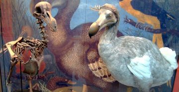dodo-skeleton-cast-and-model-at-oxford-university-museum-of-natural-history-by-bazzadarambler-crop