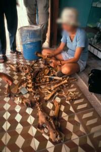EIA investigator examines tiger bones
