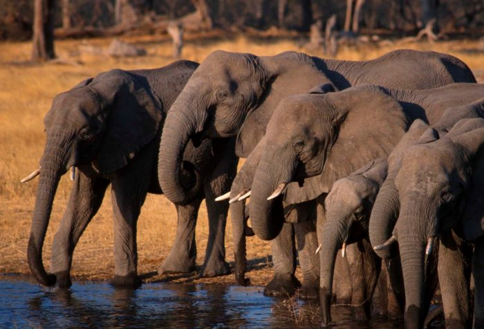 Elephants drinking water at the Chobe National Park, Botswana.