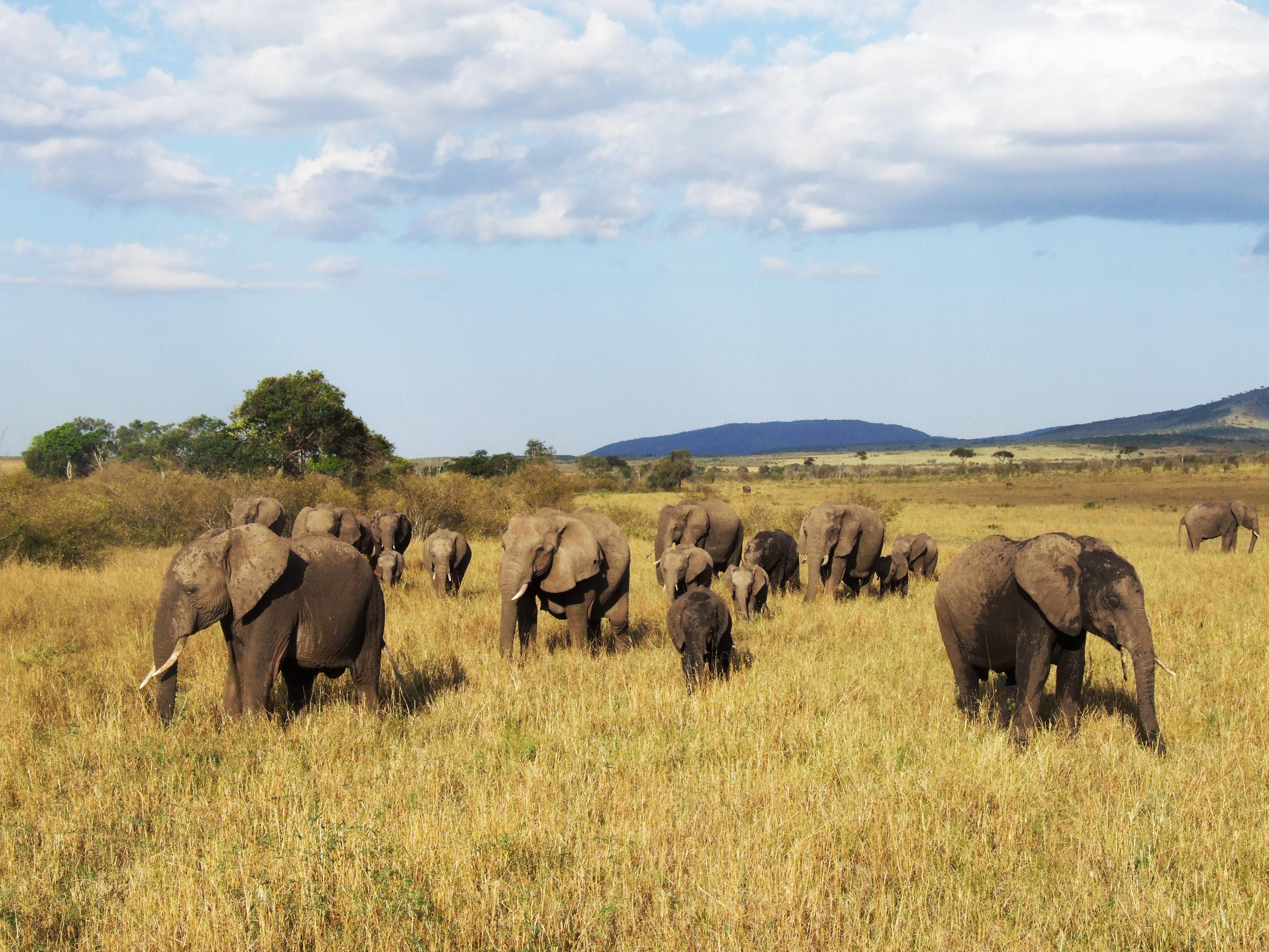 Elephant, Savannah Elephant, Wild Elephant live, Kenya, 2010 (c) EIA image (Luke Pickering)