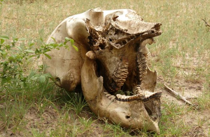 Elephant skull in the Selous (c) EIA