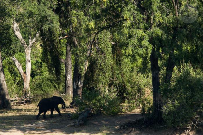 Elephants, Chobe, Botswana, March 2015 (1)