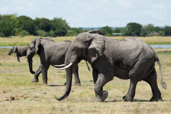 Elephants, Chobe, Botswana, March 2015 (2)