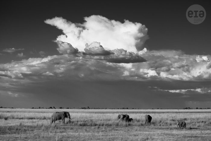 Elephants, Chobe, Botswana, March 2015 (3)