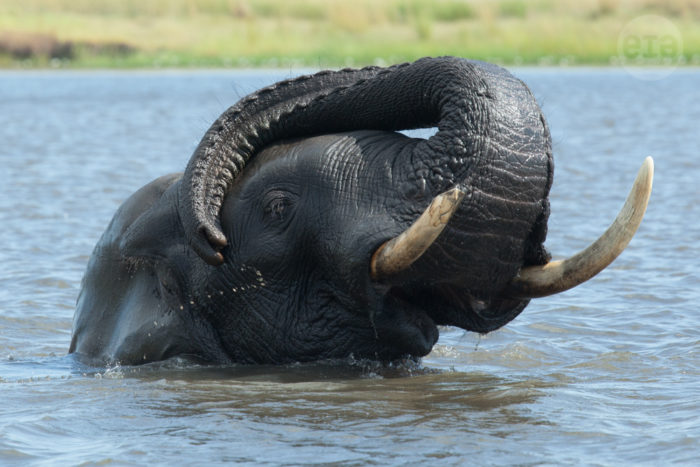 Elephant, Chobe, Botswana, March 2015