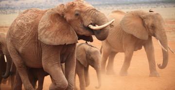 Elephants in Kenya (c) Mary Rice
