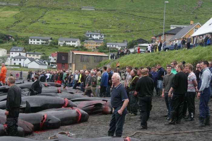 Slaughtered pilot whales on the beach (via www.nordlysid.fo)