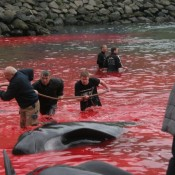 New rules but same old cruelty in Faroe Islands whaling