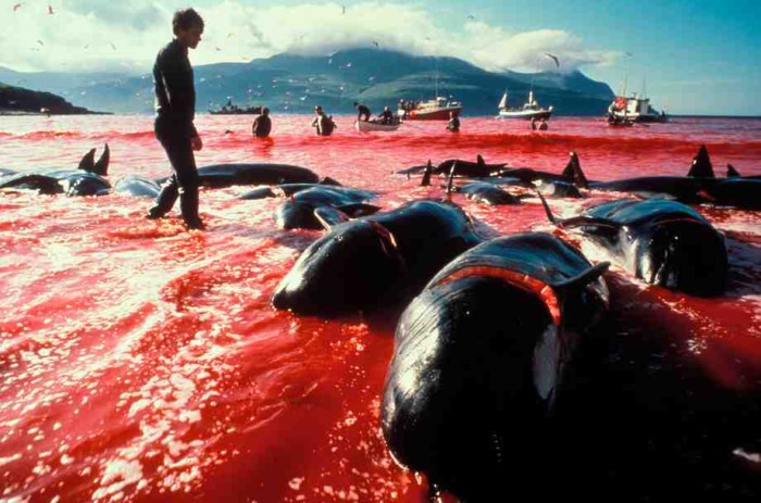 Faroe_Islands_Leynar_Bay_Pilot_Whales_01