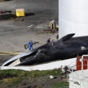 Iceland's rogue whaler ships more fin whale meat to Japan