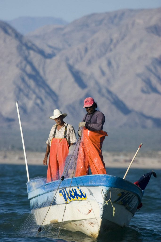 Gillnets used by fishermen to catch shrimp, are the primary cause of Vaquita mortality.