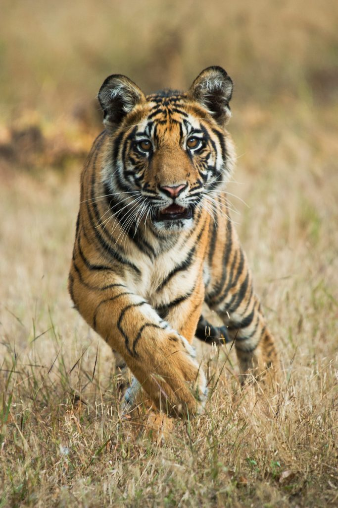 Portrait of five month old Bengal Tiger (Panthera tigris), approaching head on, Bandhavgarh, India