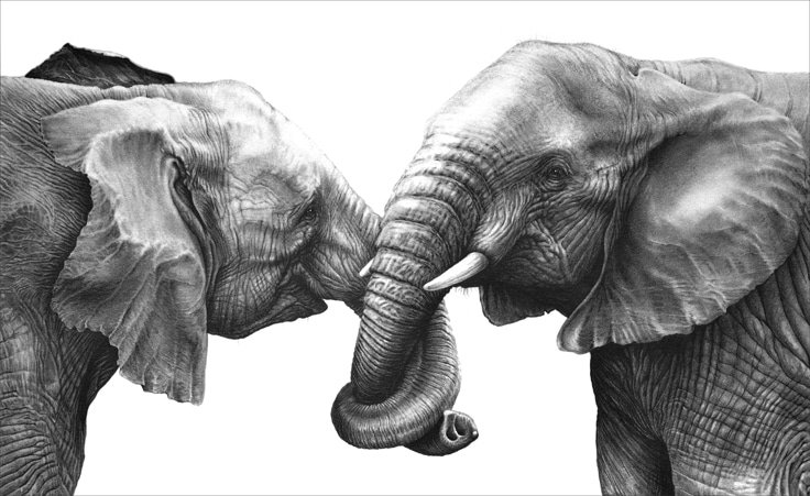 A pencil drawing of two African elephants by wildlife artist Gary Hodges