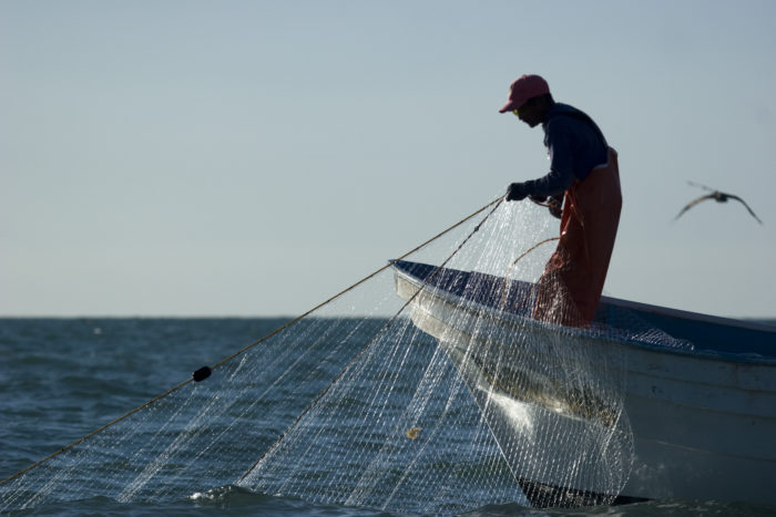 Gillnets are the primary cause of vaquita mortality in the upper gulf of california, Mexico (c) Chris Johnson