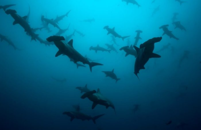 Hammerheads by Xvic lr