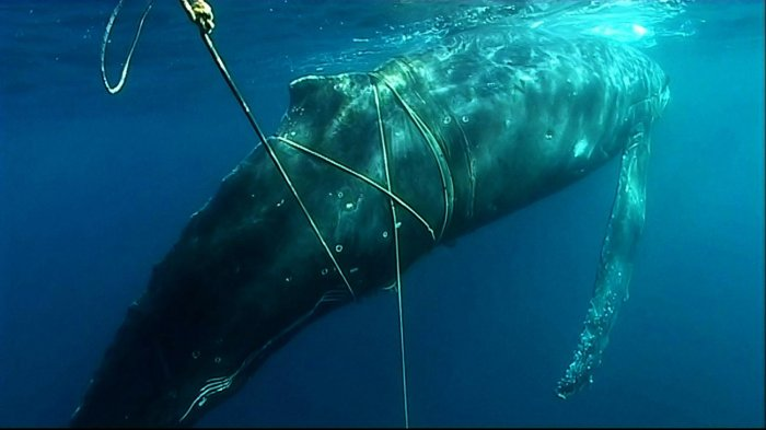Humpback whale entangled in gear off West Australia (c) Department of Environment and Conservation