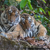Stars come out to help Save Wild Tigers