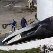 Making a killing from endangered whales